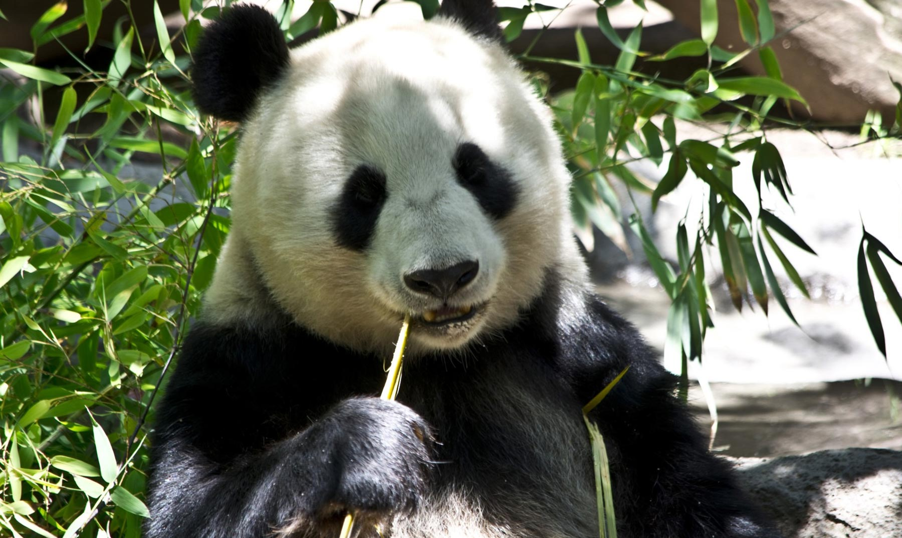 El planeta sin osos panda