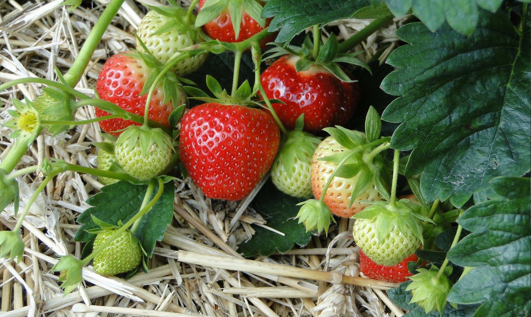 Fresas: reinas de la salud natural