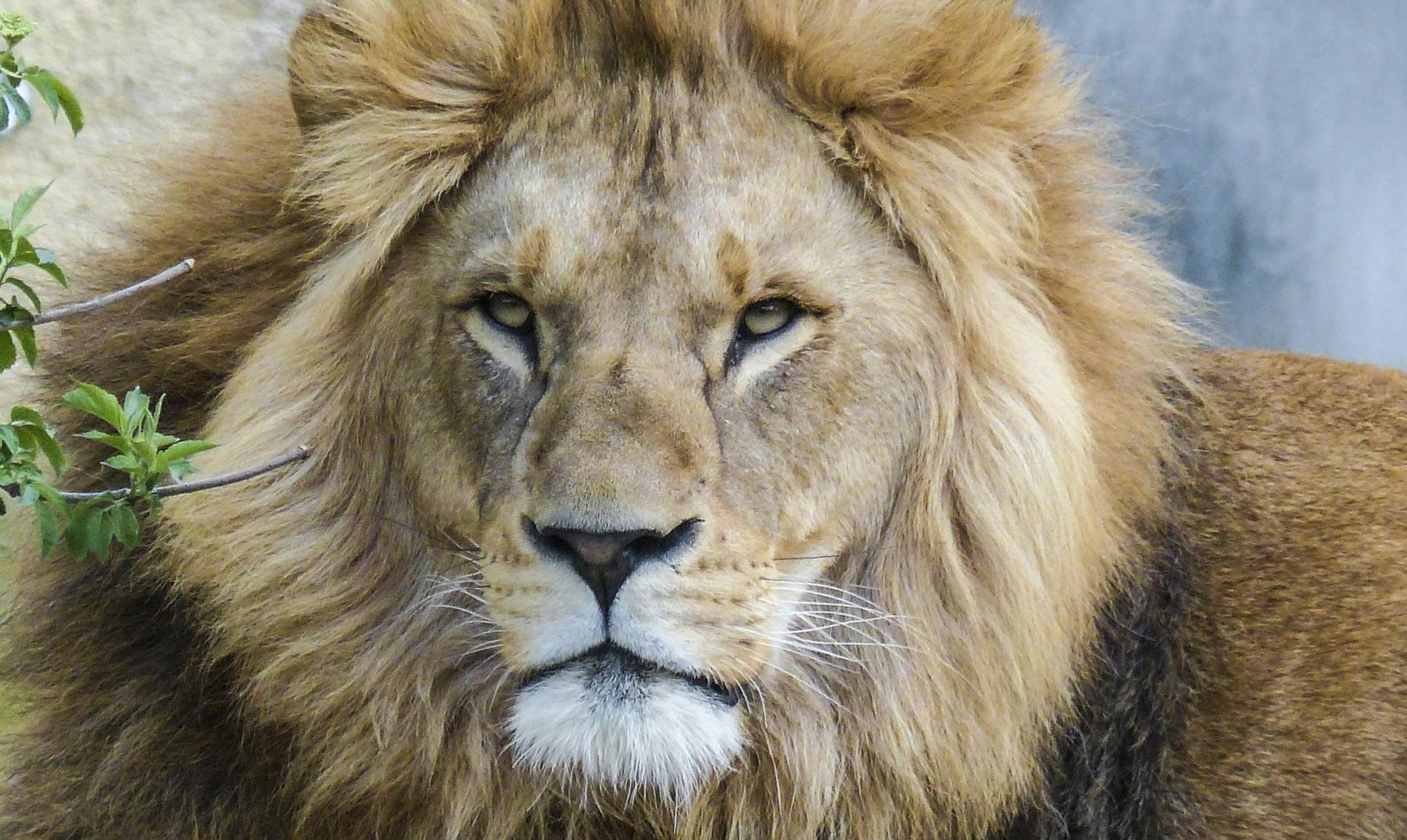 Leones salvajes y la lista roja de extinción