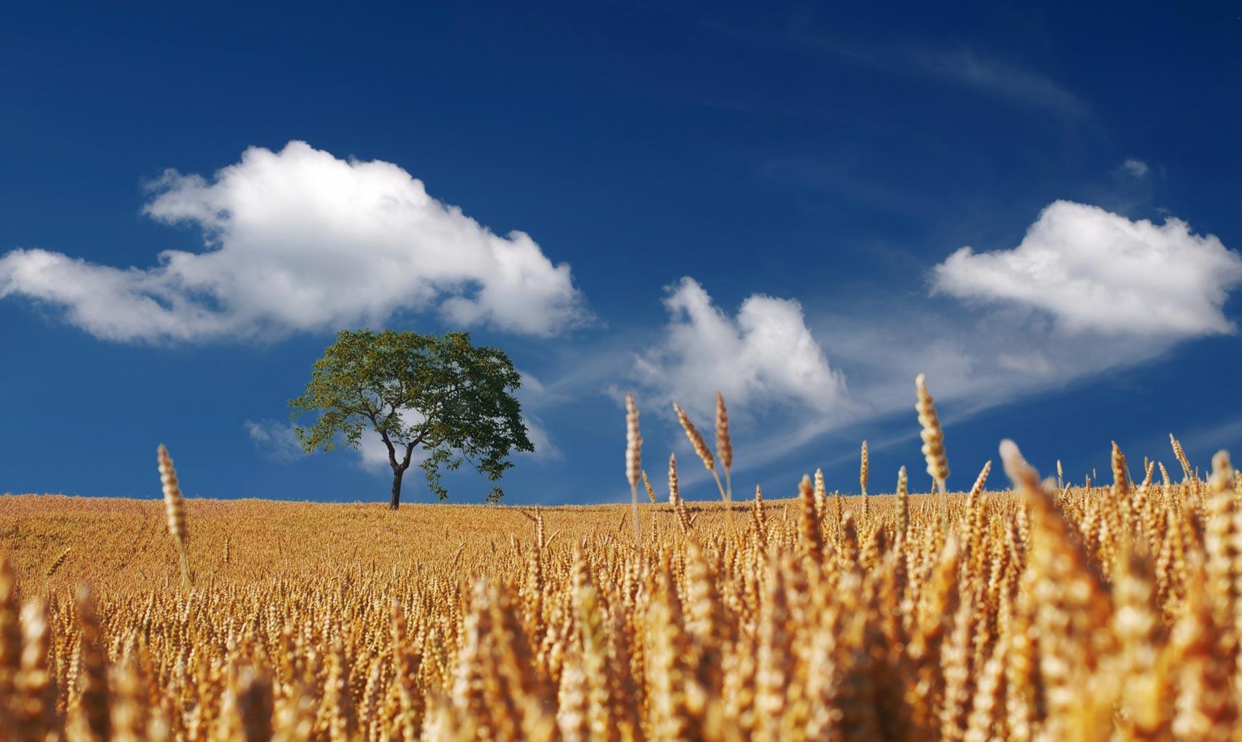 El trigo amenazado por el calentamiento global