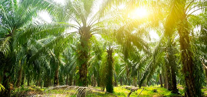 El cultivo del aceite de palma