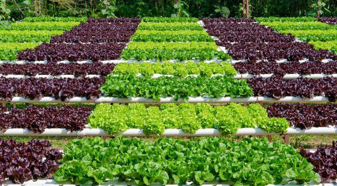 Lechugas hidropónicas presente y futuro de la agricultura