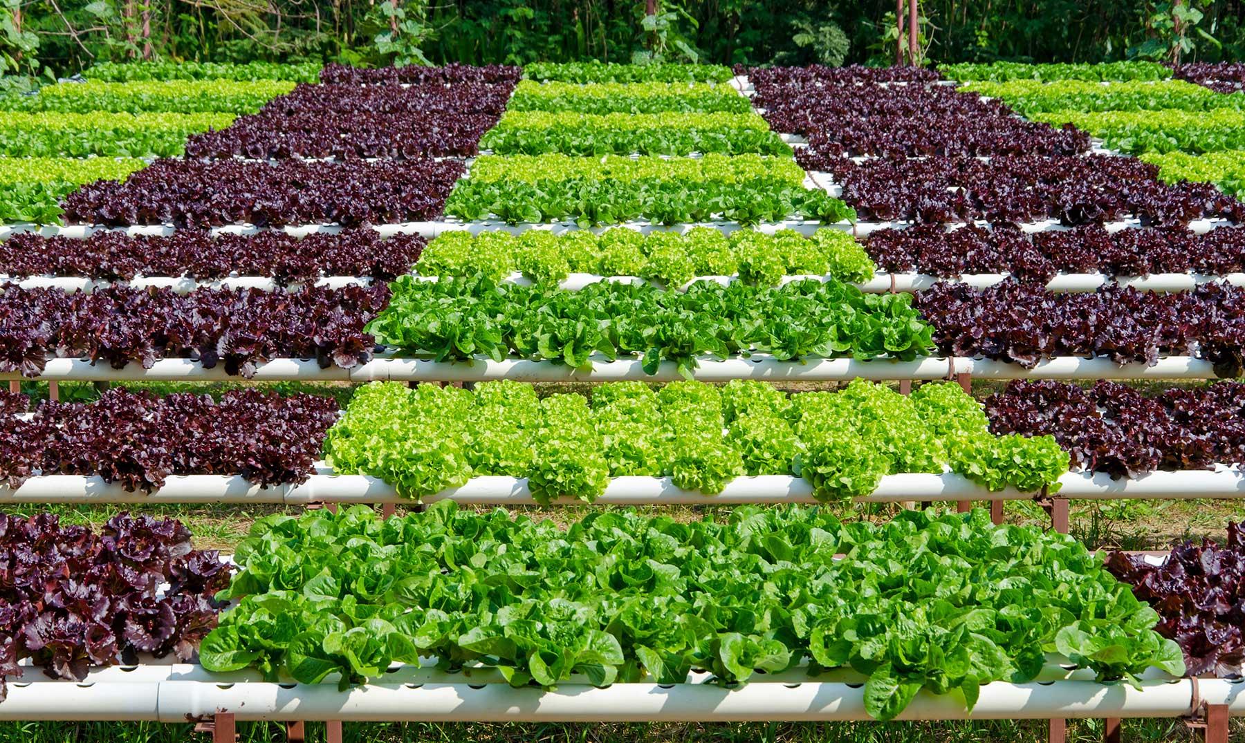 Lechugas hidropónicas: presente y futuro de la agricultura