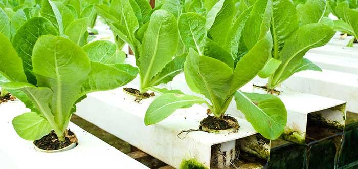 Verduras hidropónicas
