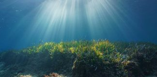 La Posidonia el pulmón verde marino