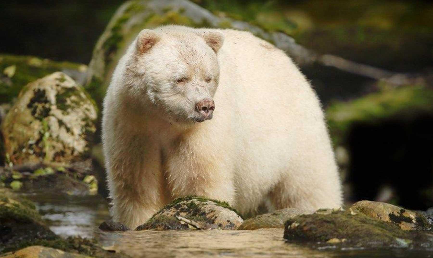 El oso «espíritu del bosque», animal protegido