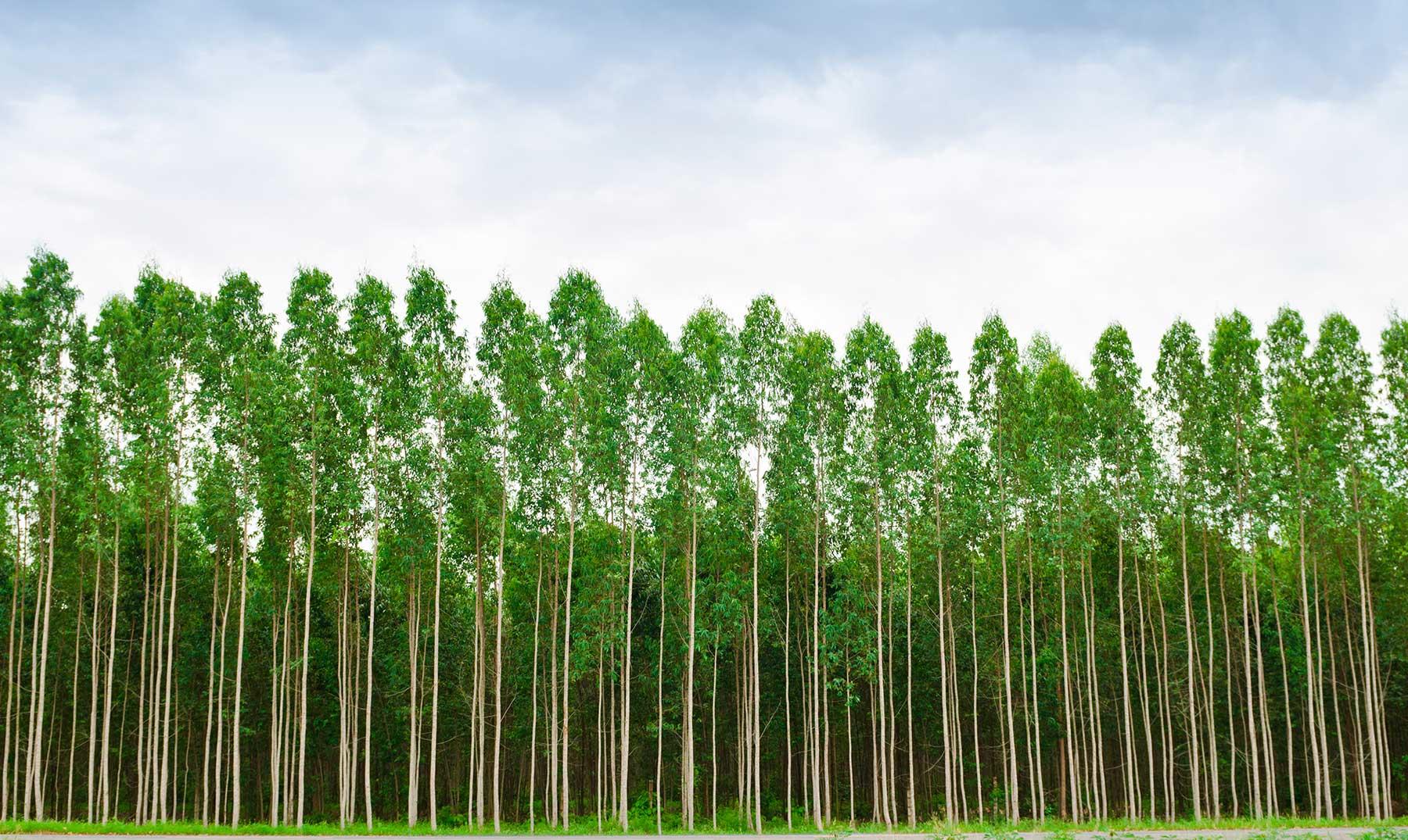 Impacto económico del eucalipto en Galicia (Norte de España) #CoñecementoParaTodos