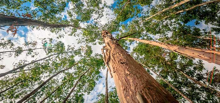 Eucalipto y gestión forestal 2