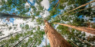 Eucalipto y gestión forestal 1