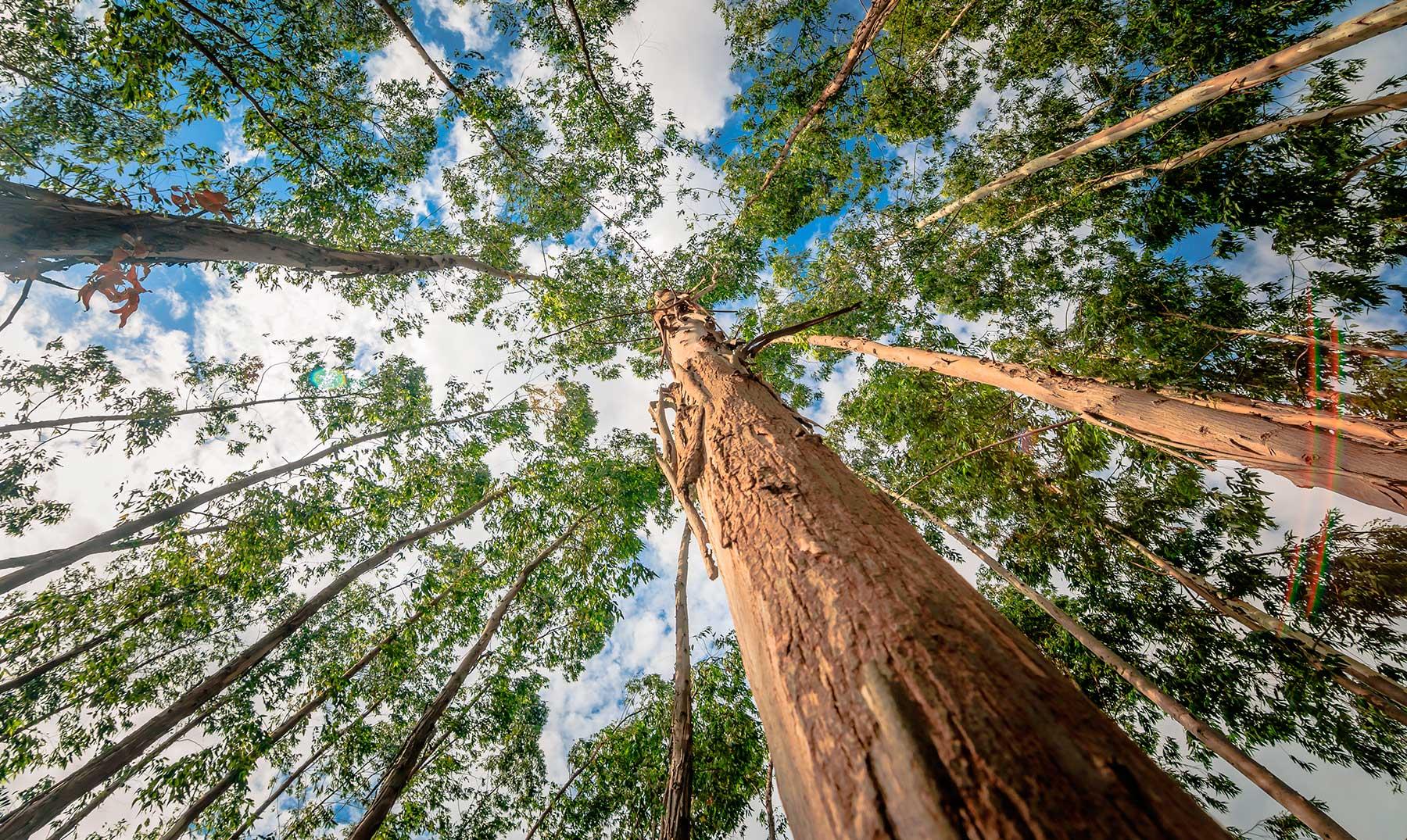 El eucalipto y la gestión forestal en Galicia. ¡Descubre su relación! #CoñecementoParaTodos