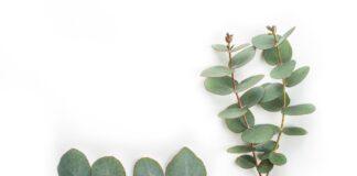 Eucalipto | La importancia de las entidades certificadores de bosques sostenibles