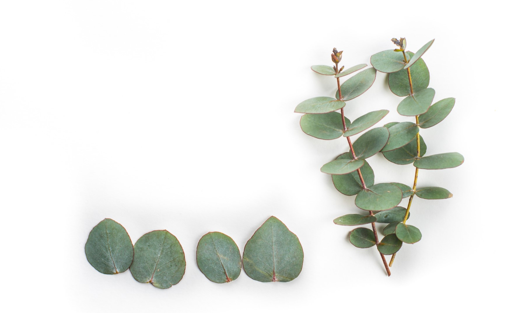 Eucalipto | La importancia de las entidades certificadoras de bosques sostenibles #coñecementoparatodos