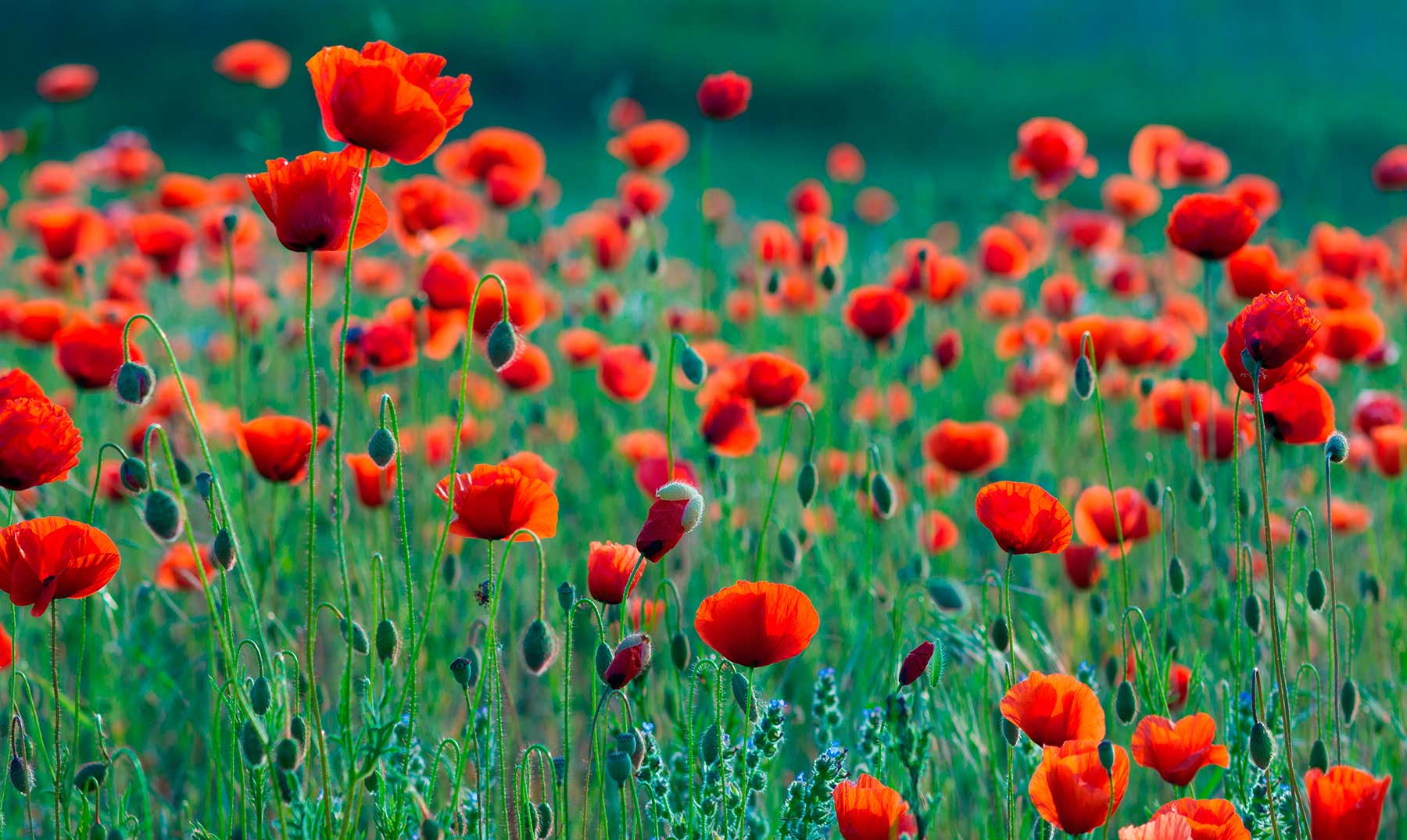 ¿Cuáles son las flores silvestres que no deben faltar en tu jardín?